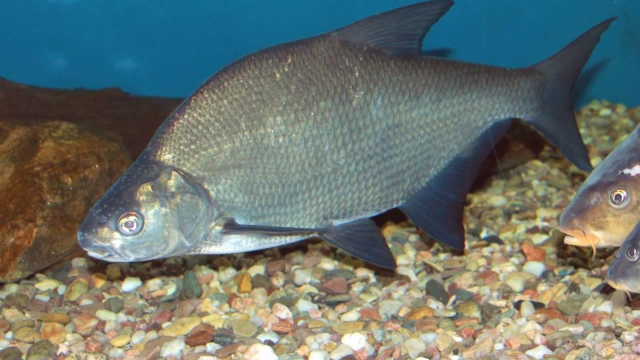 Рыбные ресурсы амура: разнообразие видов и их защита
