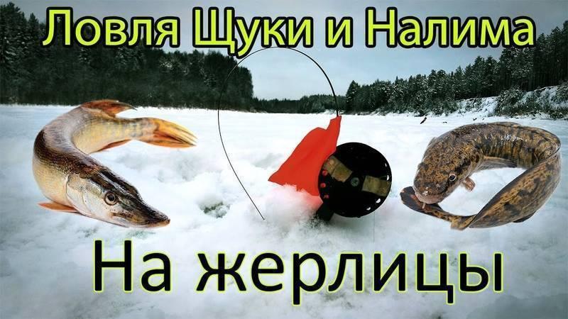 Как ловить налима зимой на жерлицы, налим зимой