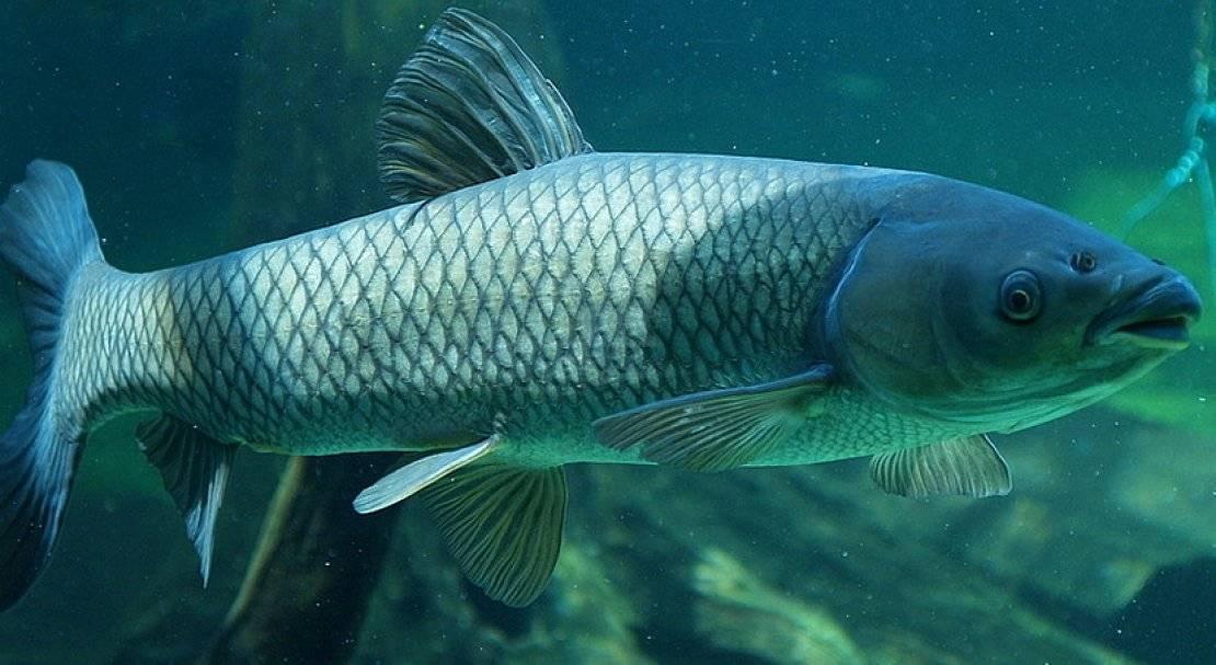Белый амур: рыба костлявая или нет, вкусовые качества, полезные свойства карпа