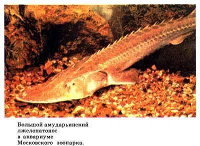 Лопатонос обыкновенный. все о необычной рыбе