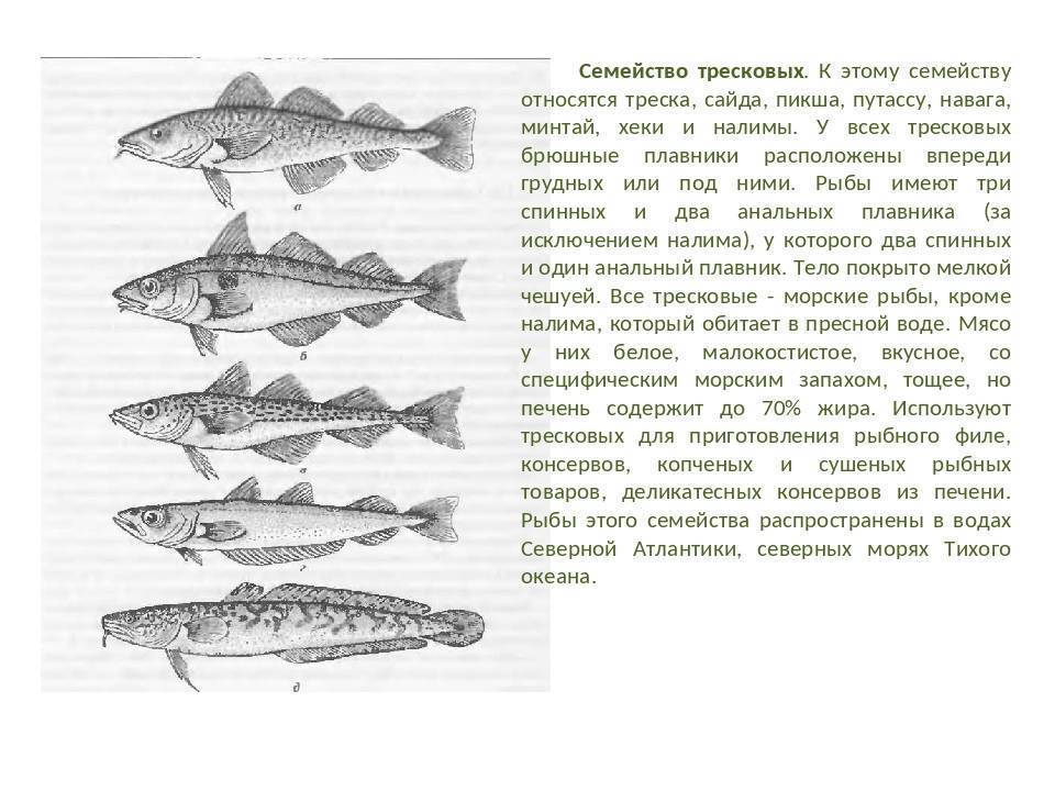 Треска или навага что вкуснее. все о семействе тресковых, треска — морская или речная рыба