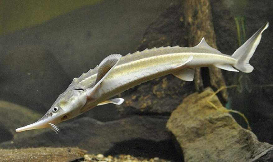 Морская щучья собачка – фото необычной рыбы-агрессора