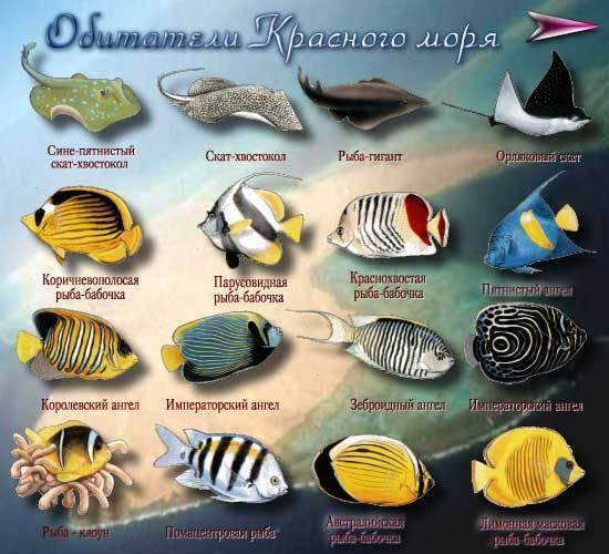 Рыба скат - морская лисица: ареал обитания, особенности вида