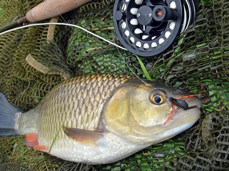 Жерех рыба – фото, описание, где водится и чем питается, как ловить и готовить шереспера
