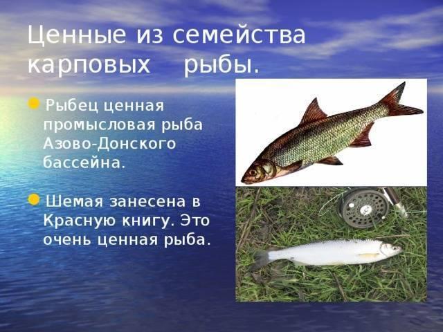 Рыба шемая – фото, описание, ареал, питание, популяция