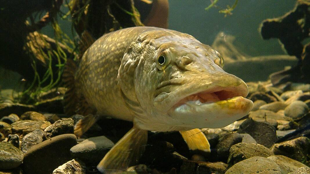 Щука и карась: тип взаимоотношений хищника и мирной рыбы
