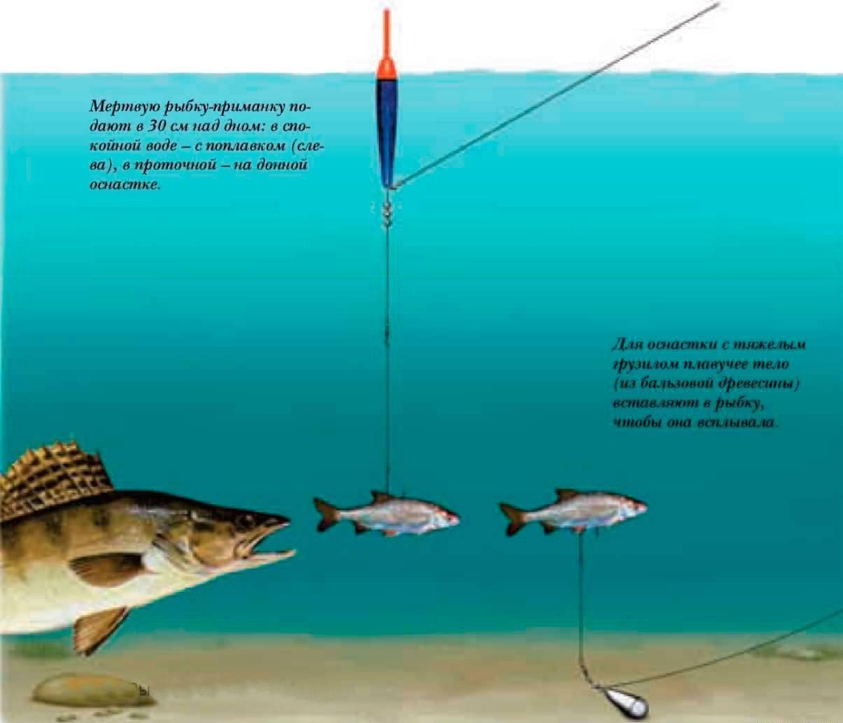 Ловля судака на живца: выбор наживки, ловля на малька осенью с лодки и другие способы, снасти для ловли в отвес и монтаж оснастки