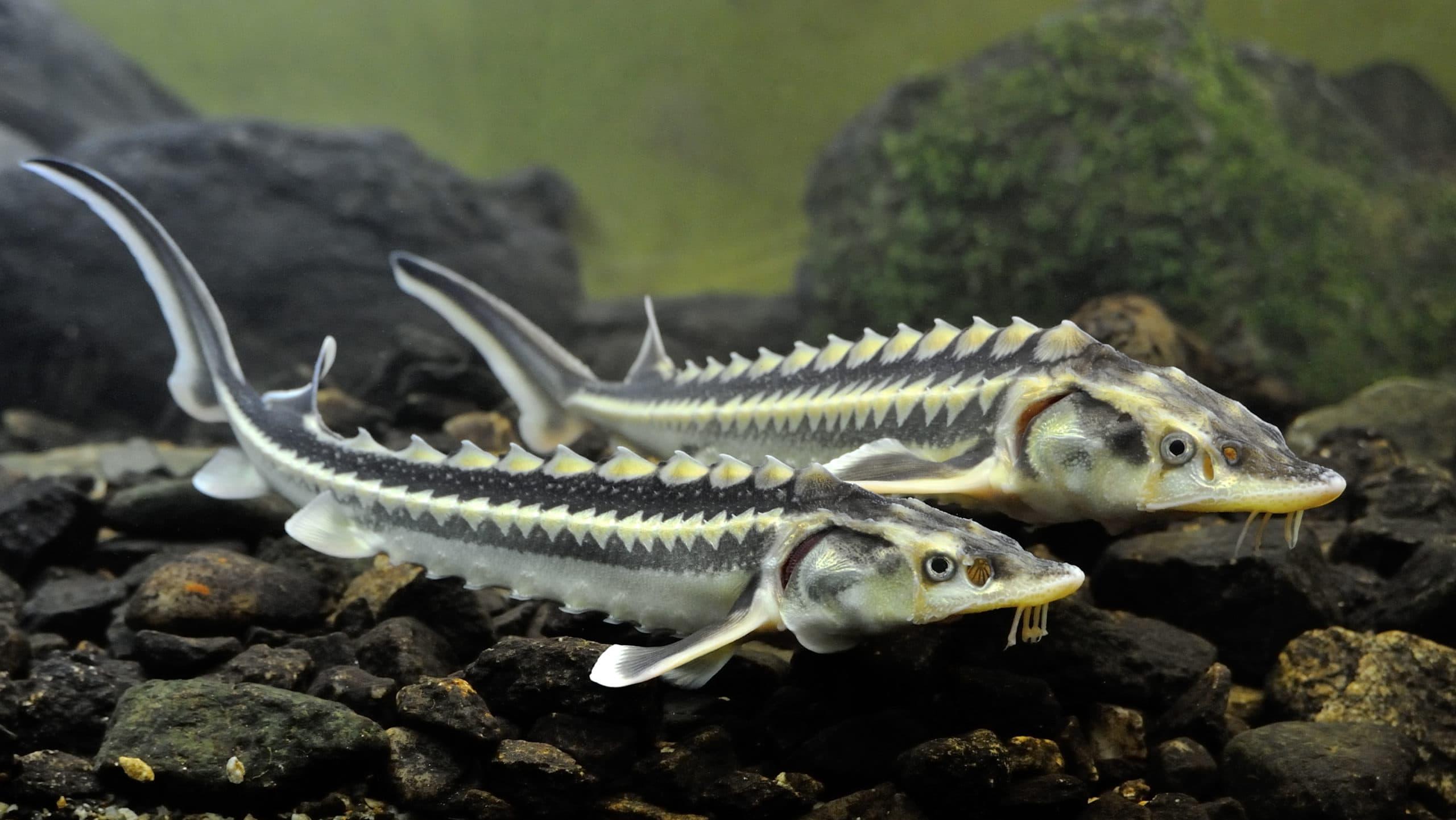 Стерлядь: фото рыбы, чем она питается, где водится в природе