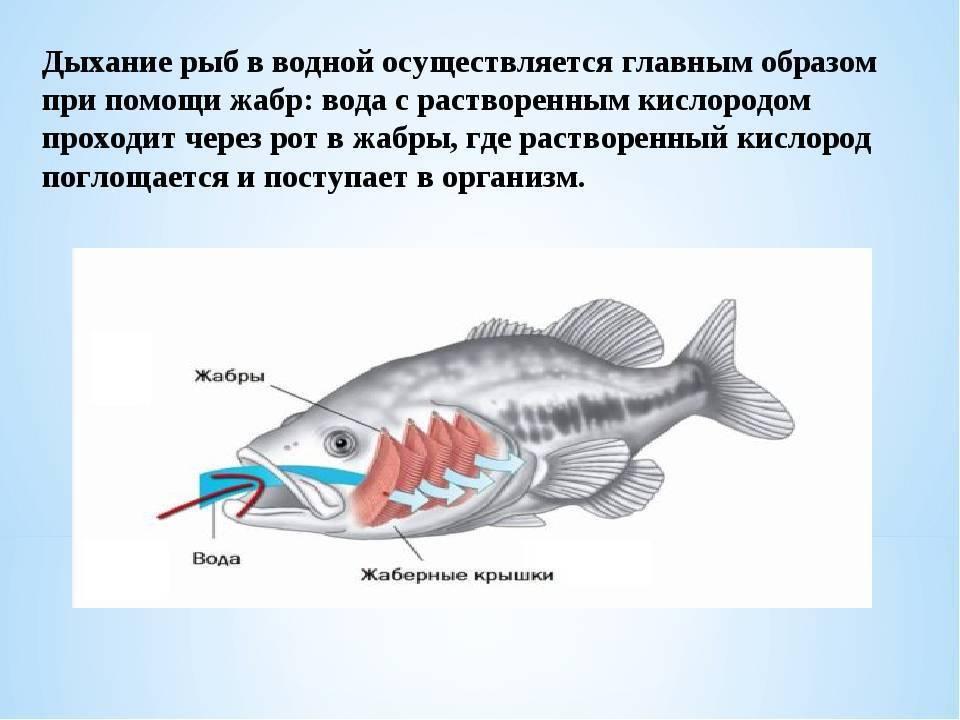 Как рыбы дышат под водой? как дышат рыбы в воде. чем дышат рыбы в воде