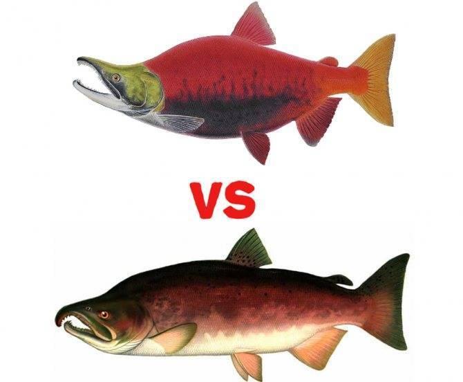 Нерка что за рыба. где обитает. полезные свойства и вред. калорийность.