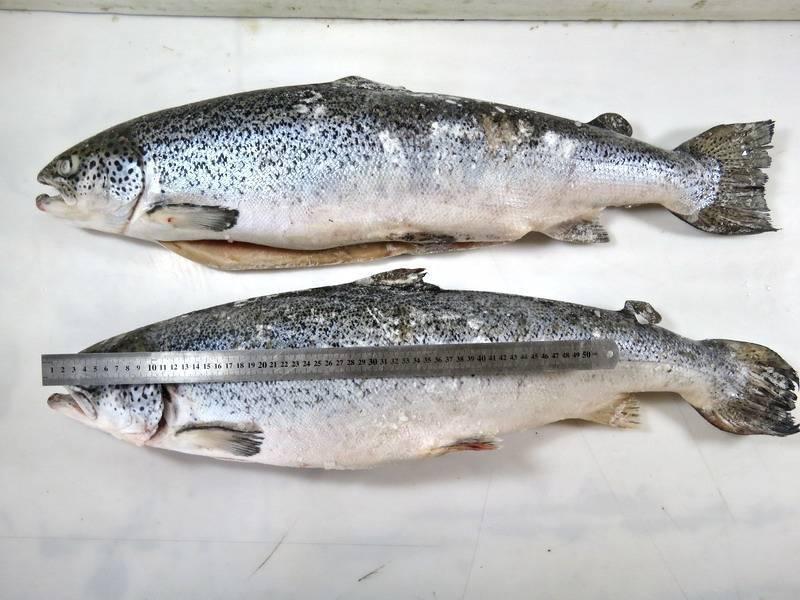 Рыба сиг: описание, цена, семейство, где, когда ловить (фото, видео)