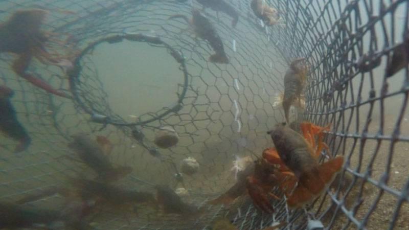 Ловля раков на удочку: необычная рыбалка