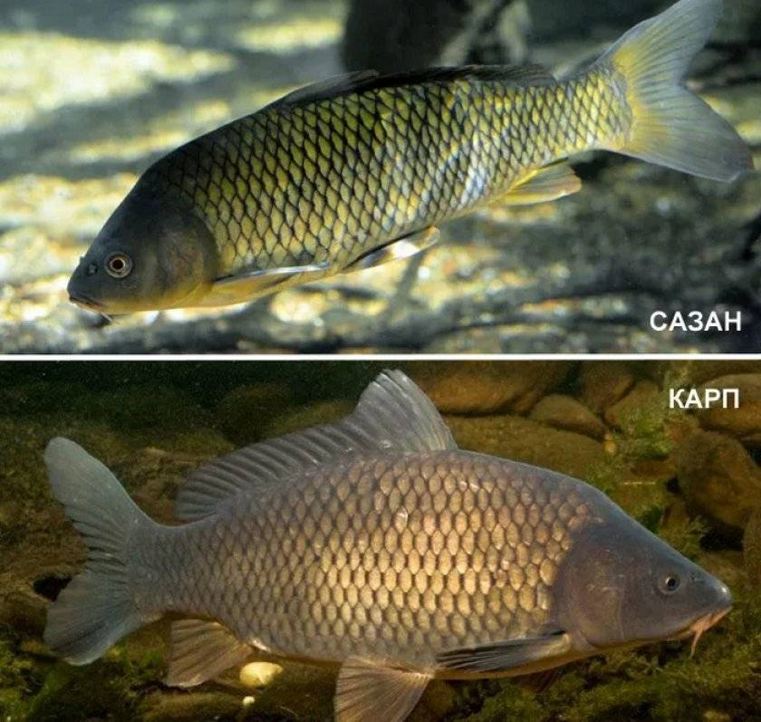 Сазан (карп обыкновенный) – описание, виды, чем питается, фото