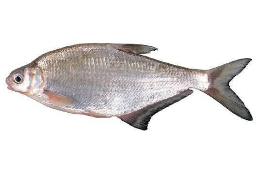 Рыба красноглазка