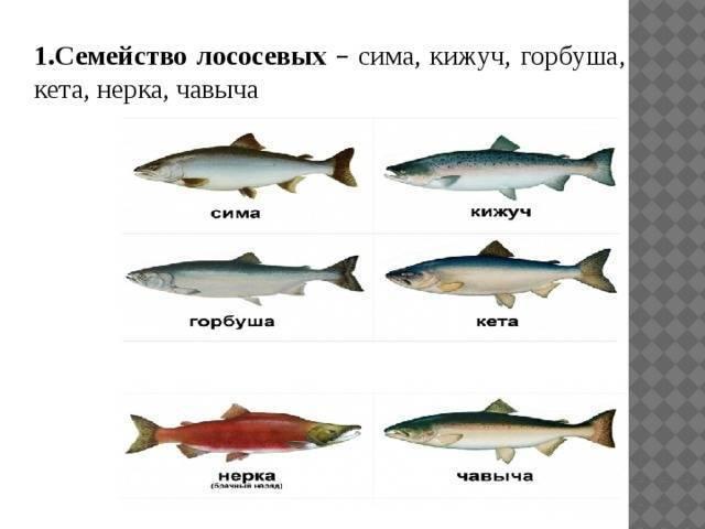 Рыбы семейства лососевых