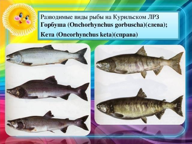 Горбуша – калорийность и состав, польза и вред рыбы для организма