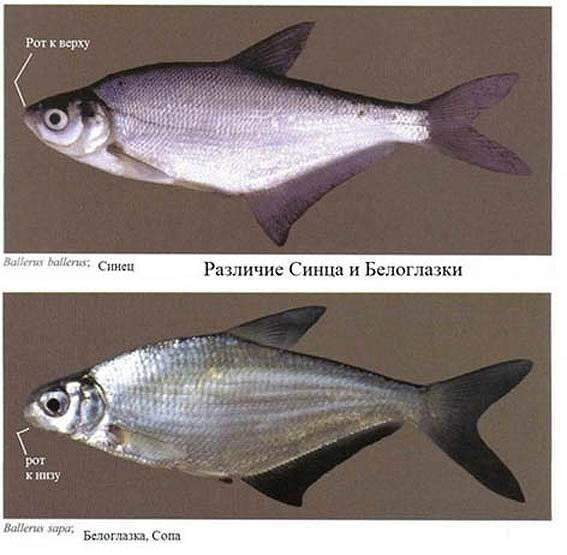 Рыба минога: фото, описание, способы ловли, пищевая ценность «семидырки»
