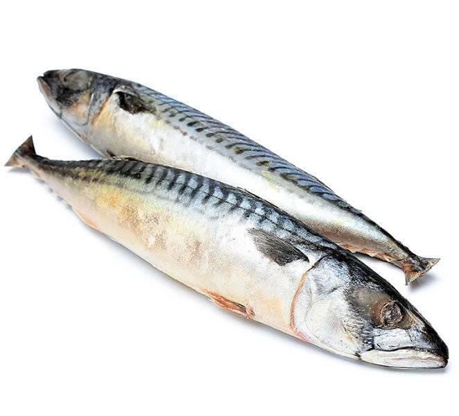 Скумбрия рыба. образ жизни и среда обитания скумбрии | животный мир