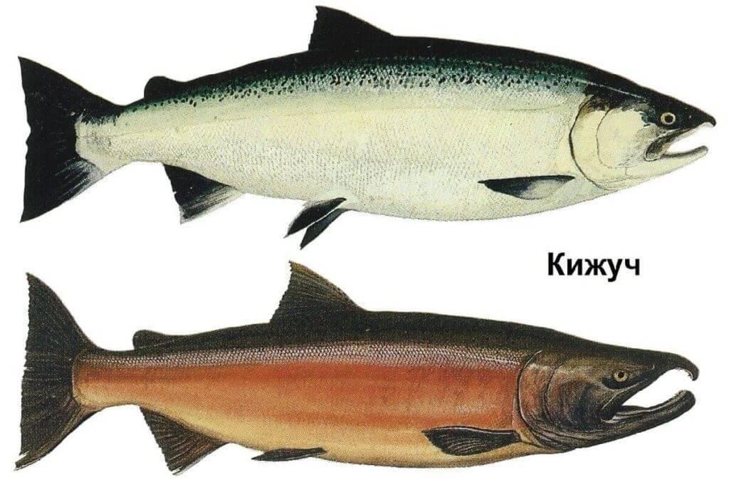 Красная рыба: виды с названиями, описанием и фото