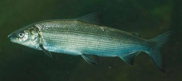 Рыба сиг: особенности вида и его сородичей, список представителей семейства с названиями и описаниями