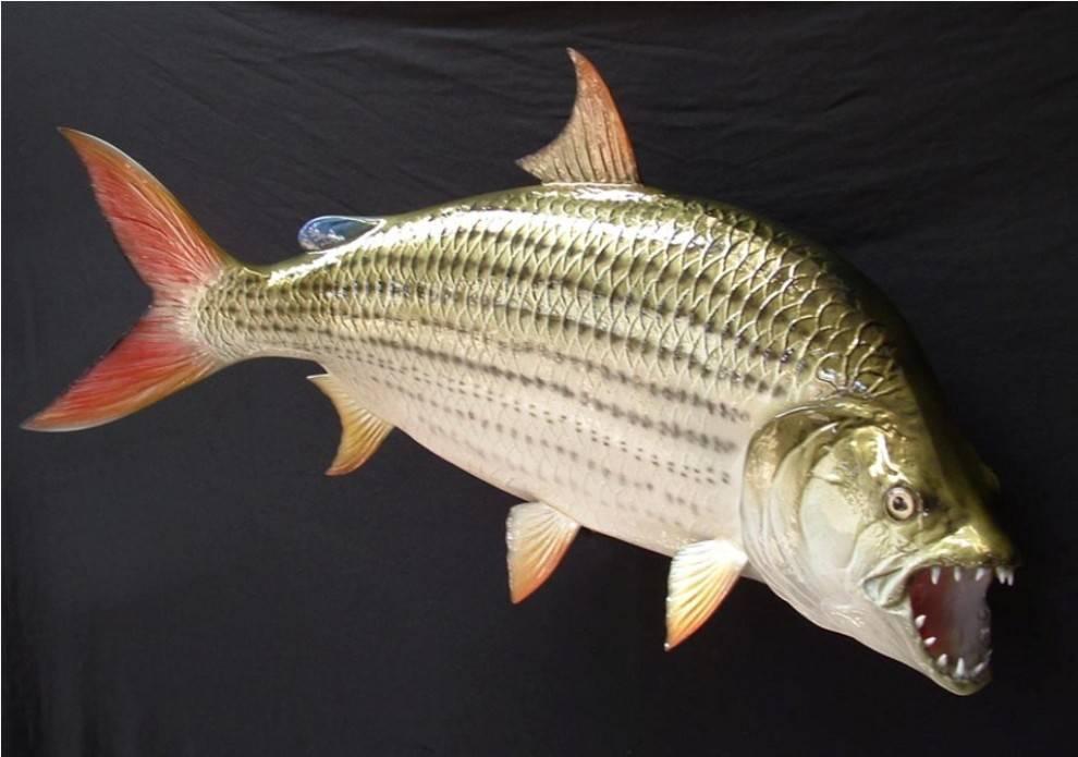 Рыба «Тигровая рыба африканская» фото и описание