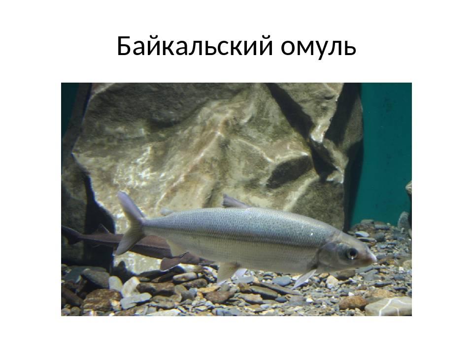 Рыбы байкала – фото и названия | рыбы, обитающие в озере байкал
