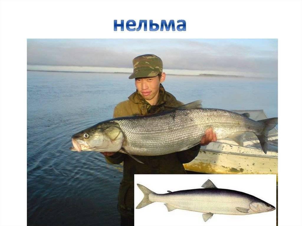 Нельма: полезные свойства рыбы, вкусовые качества, калорийность - диковед