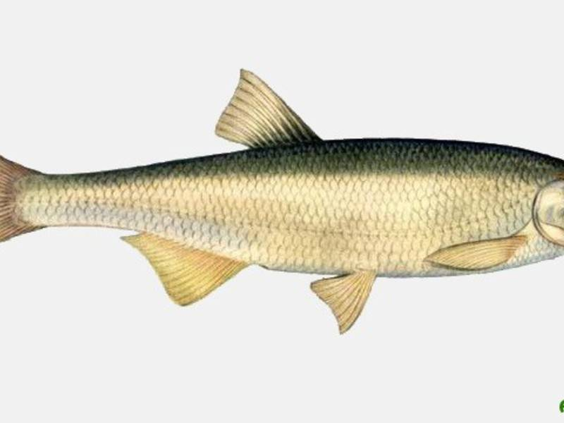 Шамайка: как выглядит и где водится рыба, почему занесена в красную книгу