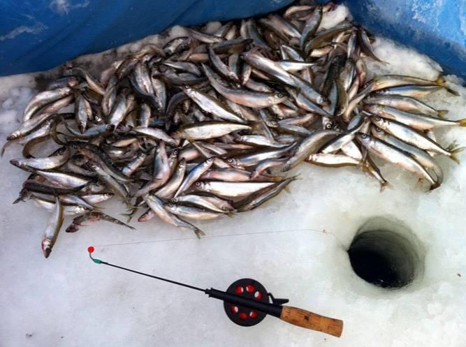 Корюшка рыба. описание, особенности, среда обитания и виды корюшки   животный мир