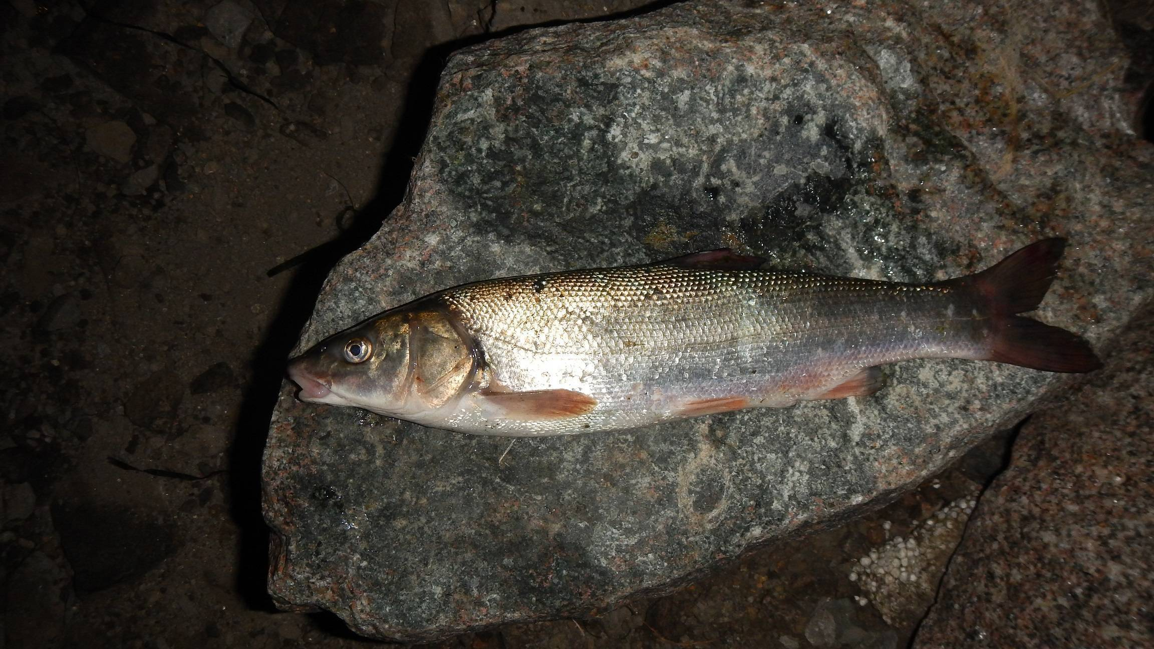 Сахалинская краснопёрка-угай — википедия. что такое сахалинская краснопёрка-угай