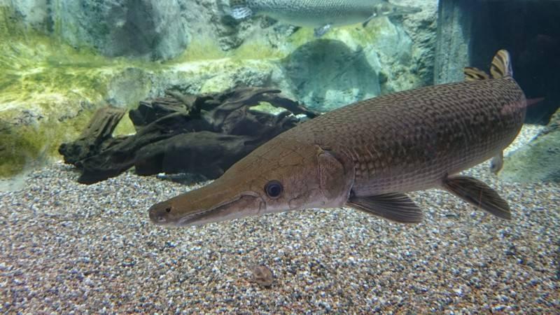 Аквариумная панцирная щука: уход за хищником и фото в аквариуме