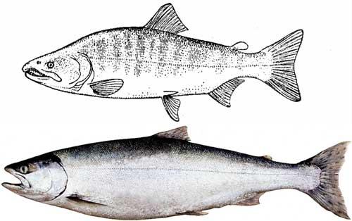 Пелядь описание что за рыба   где водится пелядь (сырок)