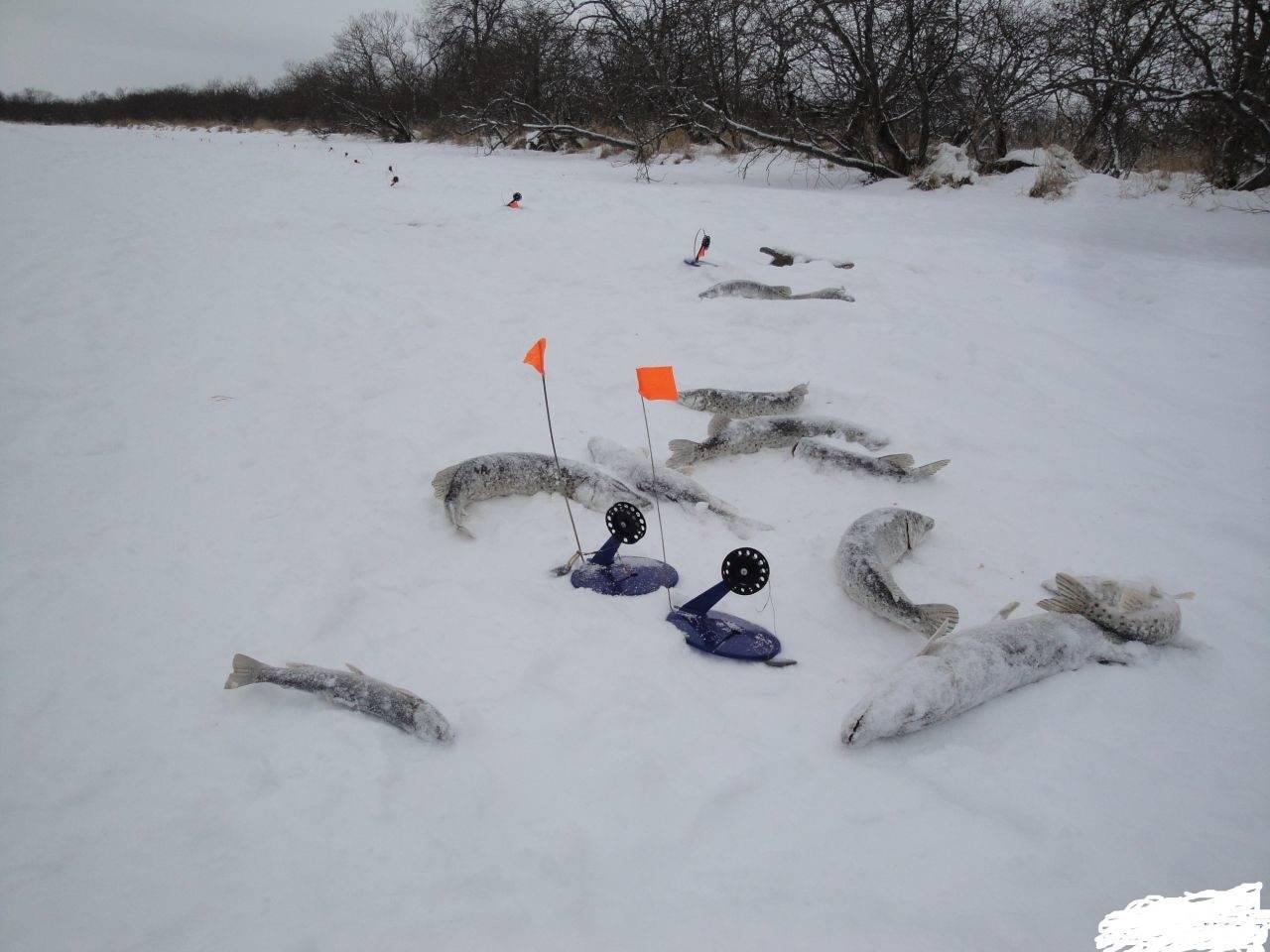 Ловля щуки зимой на жерлицы | какой живец лучше