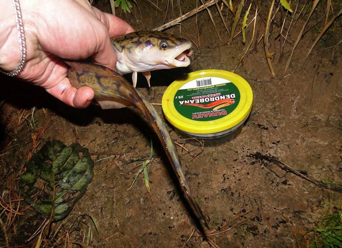 Ловля налима: на что клюет рыба, подходящие снасти для рыбалки зимой и осенью