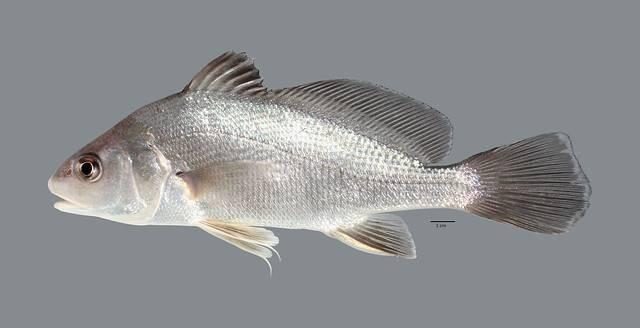 Рыба горбыль (мусар) - описание, как, где и на что ловить в израиле (white seabass)