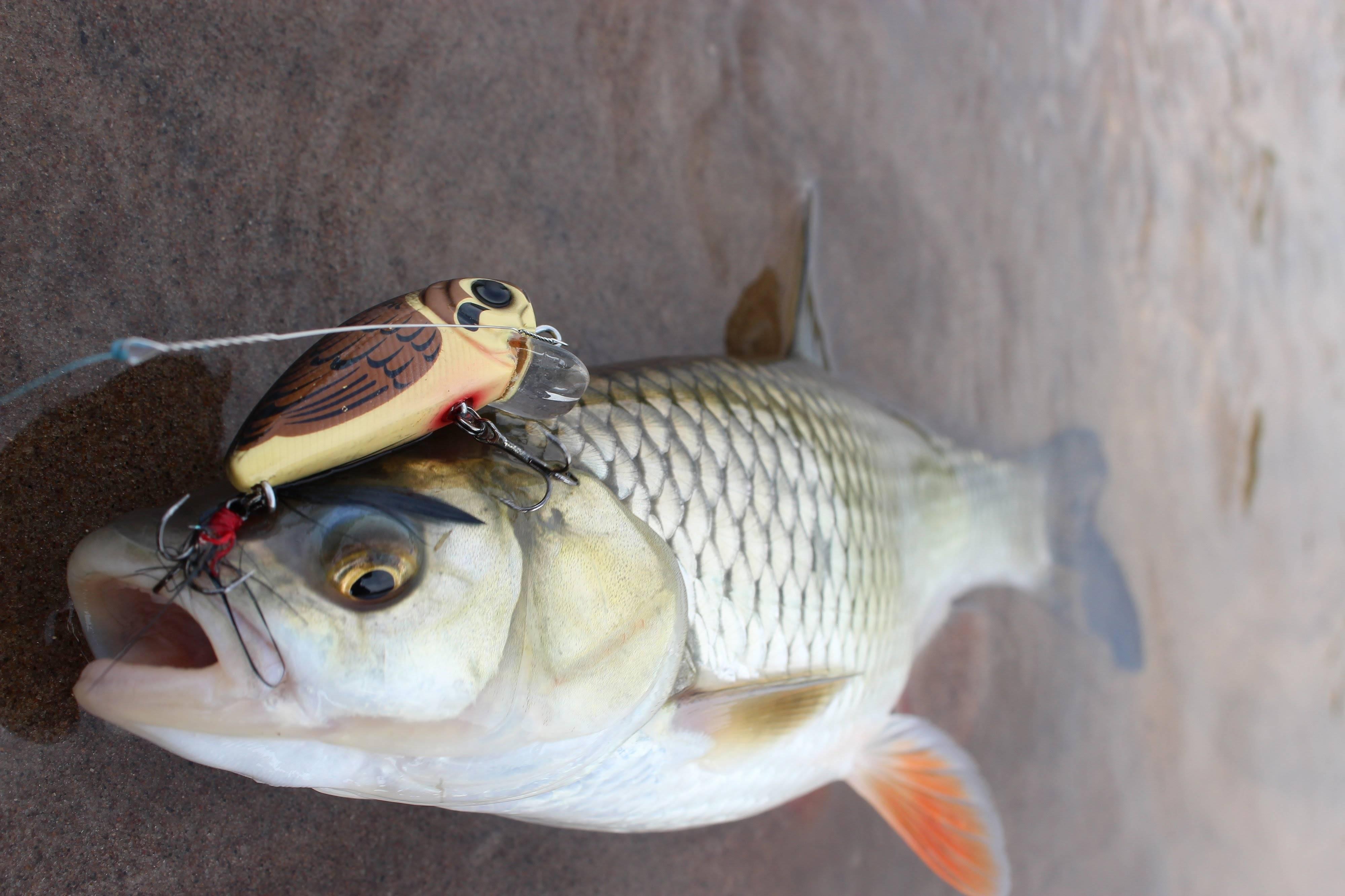 Ловля голавля: разные способы поимки и выбор рабочих приманок