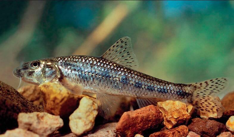 Пескарь: что за рыба и где она обитает