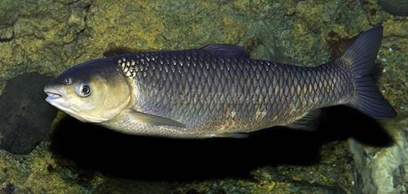 Белый амур - костлявый или нет, как приготовить белого амура, как есть эту рыбу