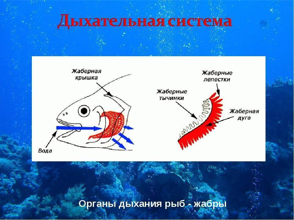 Как дышат рыбы? - other