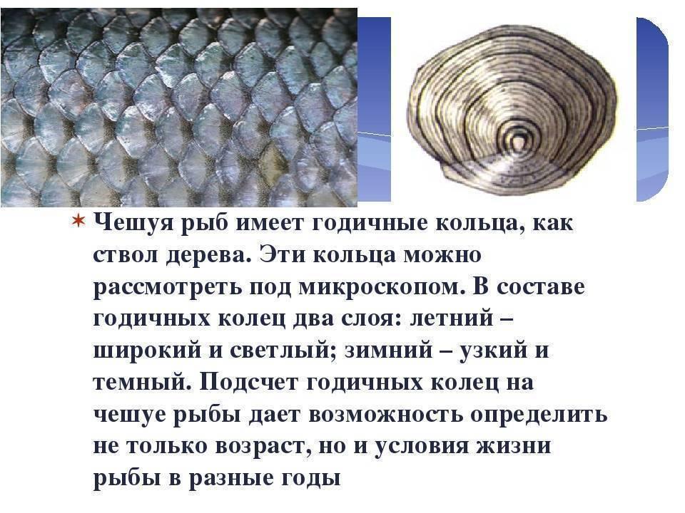 Как определить возраст рыбы по чешуе. а жизнь короткая такая
