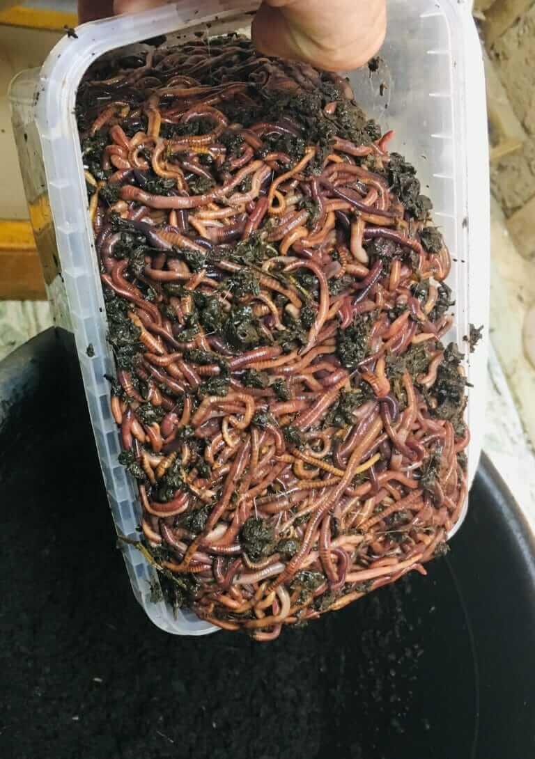 Выращивание червей для рыбалки в домашних условиях