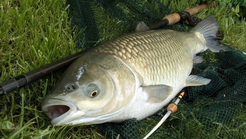Где обитает белый амур? на что ловить белого амура? советы рыбаков :: syl.ru