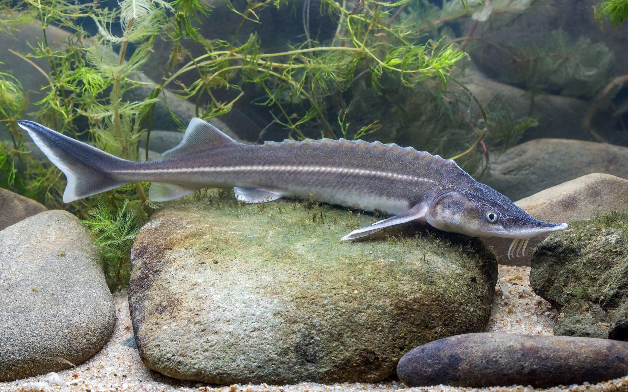 Семейство осетровых видов рыб: список самых популярных осетров, описание и фото