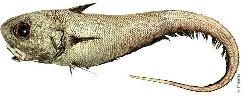 Что за рыба макрурус и где она водится?