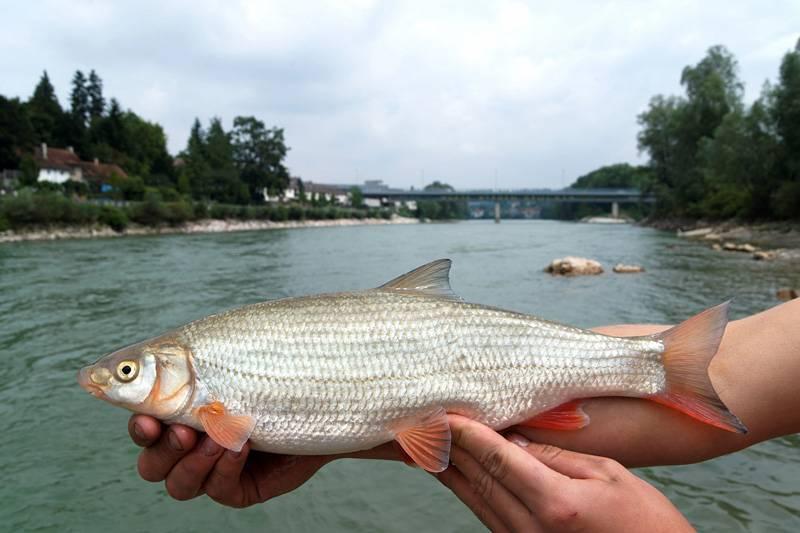 Подуст рыба фото и описание