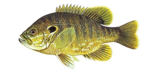 Рыба «Окунь солнечный зеленый» фото и описание