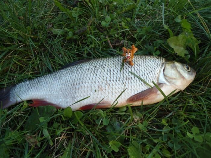 Рыба язь: описание, как выглядит, на что ловить | клёвая рыбалка