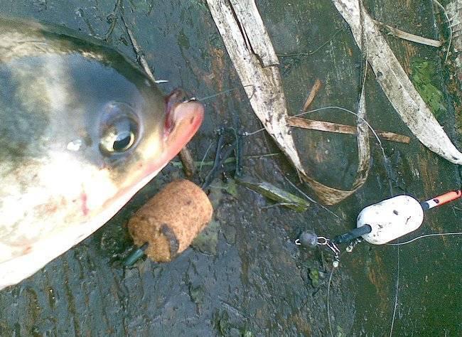 Как поймать толстолобика и на что ловить: особенности рыбалки летом, зимой и осенью