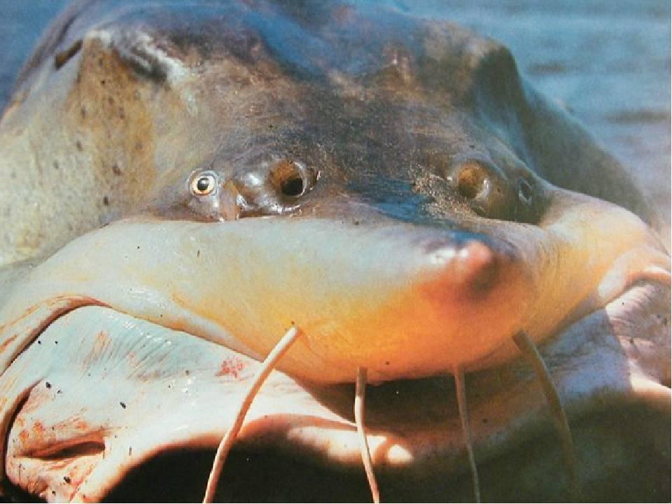 Калуга (рыба) — википедия. что такое калуга (рыба)