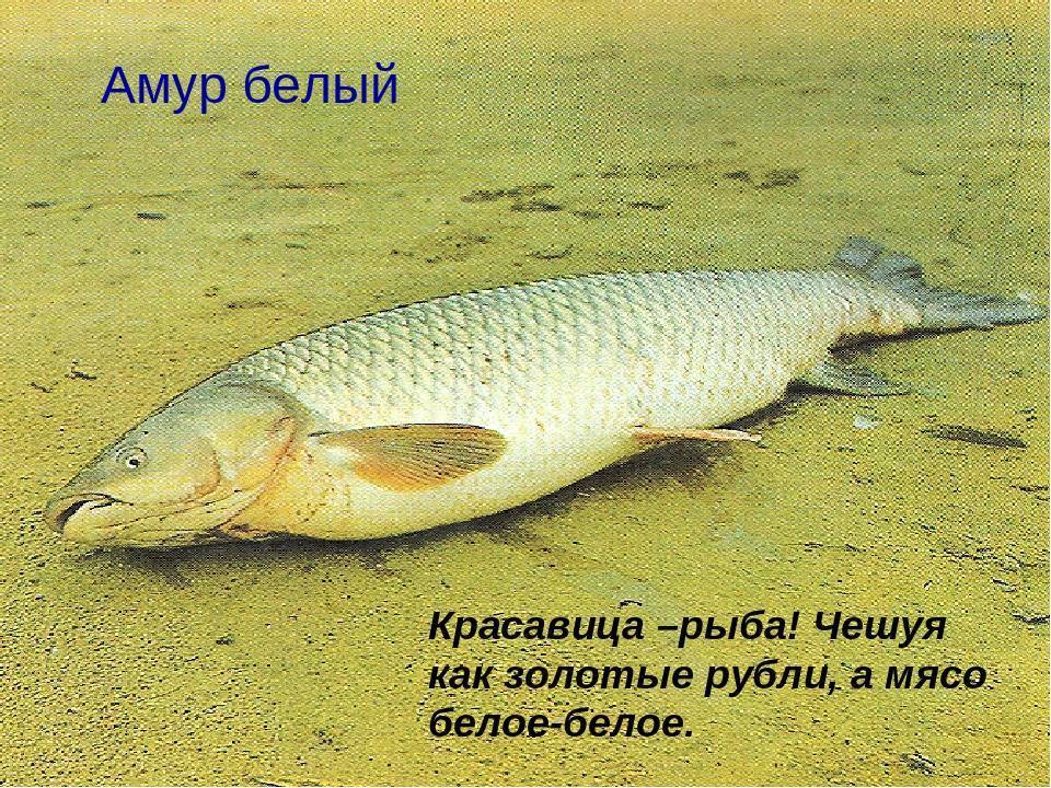 Рыба амур, ареал ее обитания, внешний вид и повадки